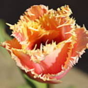 Fringed Tulip Art Print