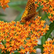Frittalary Milkweed And Nectar Art Print
