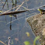 Frog At Pond Art Print