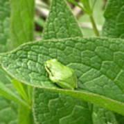 Frog In Comfrey Art Print