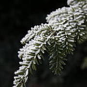 Frost On Pine Art Print