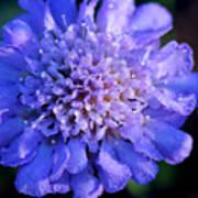 Frosted Blue Pincushion Flower Art Print