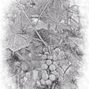 Frosted Grapes Vignette Art Print