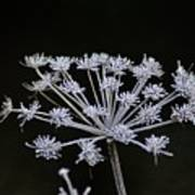 Frosted Hogweed Art Print