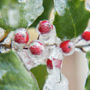 Frosted Holly Art Print