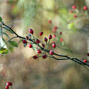 Frosted Red Berries And Green Leaves  Art Print