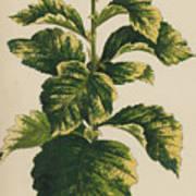 Frosted Thorn, Crataegus Prunifolia Variegata Art Print