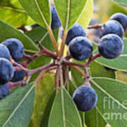 Fruit And Leaves Of The Red Bay Art Print