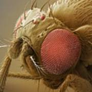 Fruit Fly Head, Sem Art Print by Power And Syred