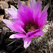 Fuchsia Cactus Blossom Art Print