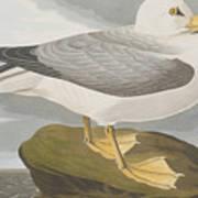 Fulmar Petrel Art Print