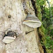 Fungus Grows On A Tree Trunk Art Print