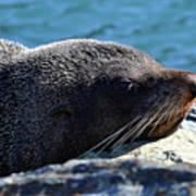 Fur Seal Art Print