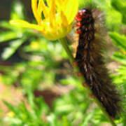 Furry Caterpillar On A Yellow Flower Art Print