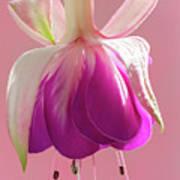 Fuschia Petals Art Print
