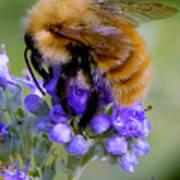 Fuzzy Honey Bee Art Print