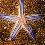 Galapagos Colorful Seastar Art Print
