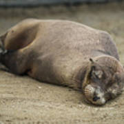 Galapagos Sea Lion Sleeps On Sandy Beach Art Print