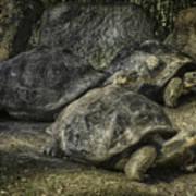 Galapagos Tortoise_hdr Art Print