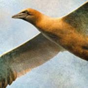 Gannet In Flight Art Print