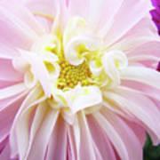 Garden Floral Art Pink Dahlia Flower Baslee Troutman Art Print