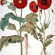 Garden Poppy Art Print