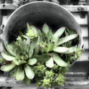 Garden Succulents Partial Color Art Print