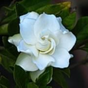 Gardenia 5 Art Print