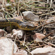 Garter Snake On The Trail In The Pike National Forest Of Colorad Art Print
