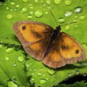 Gatekeeper Butterfly After The Rain. Art Print