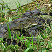 Gators 11 Art Print