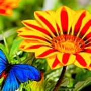 Gazania And Blue Butterfly Art Print