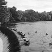 Ducks And Canada Geese On The Charles River Art Print