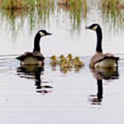 Geese And Goslings Art Print