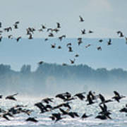 Geese And Gulls Art Print