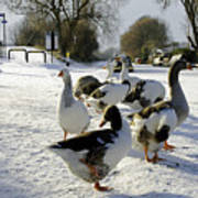 Geese At The Frozen Horninglow Basin Art Print