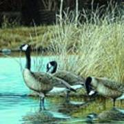 Geese On Watch Art Print