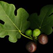 Gelini's Fig Tree Art Print