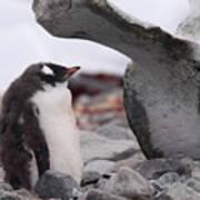 Gentoo Penguin Chick Under Whale Vertebrae Art Print