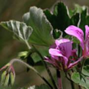 Geranium Blossom Art Print