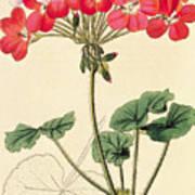 Geraniums Art Print