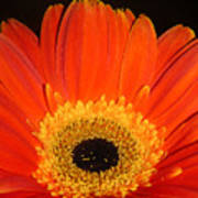 Gerbera Daisy - Glowing In The Dark Art Print