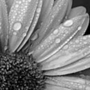 Gerbera Daisy After The Rain 2 Art Print