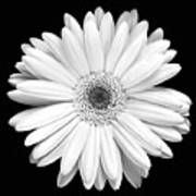 Single Gerbera Daisy Art Print