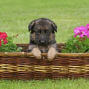 German Shepherd Puppy In Basket Art Print by Sandy Keeton