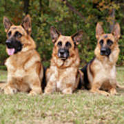 German Shepherds - Family Portrait Art Print