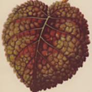 Gesnera Cinnabarina Art Print