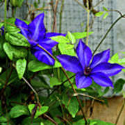 Giant Blue Clematis Art Print