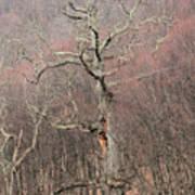 Giant Oak Tree Art Print
