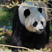 Giant Panda Bear Creeping Under A Tree Branch Art Print